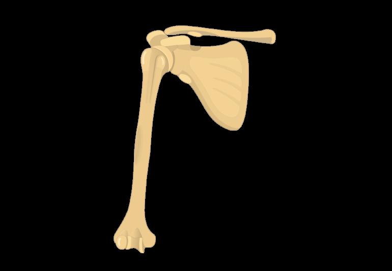 Humerus Bone Introduction
