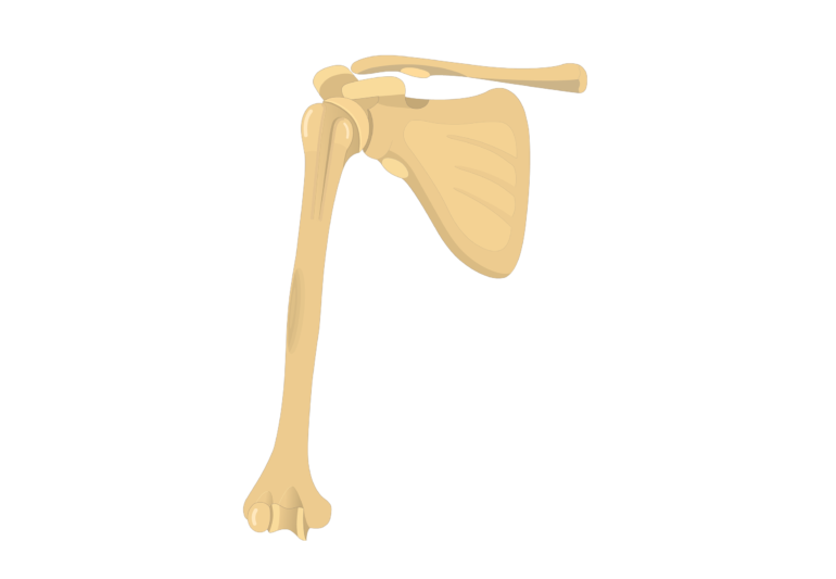 Middle part of humerus