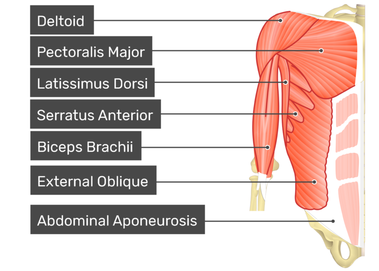 Internal oblique muscle with labels: Deltoid, latissimus dorsi, external oblique, biceps brachii, abdominal aponeurosis, pectoralis major, serratus anterior