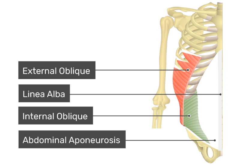Internal oblique muscle with labels: external oblique, linea alba, internal oblique, abdominal aponeurosis