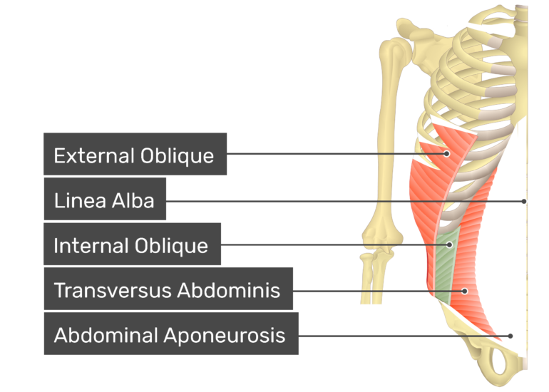Internal oblique muscle with labels: external oblique, linea alba, internal oblique, transversus abdominis, abdominal aponeurosis