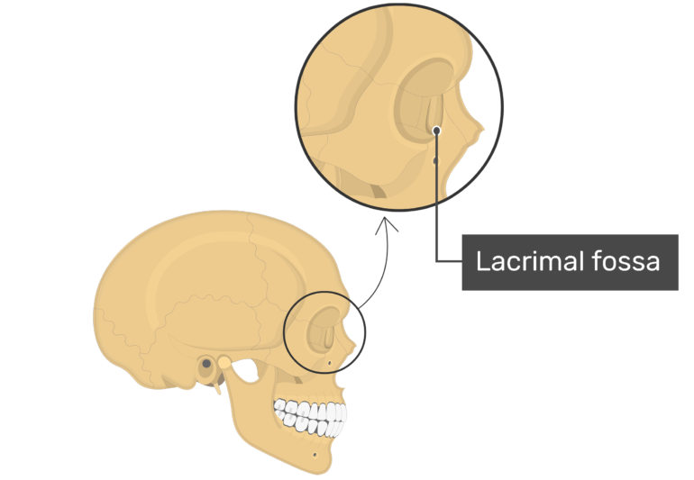 Lacrimal fossa on lateral view with label