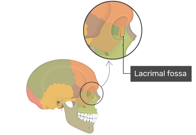 Lacrimal fossa on lateral view highlighted with color and label