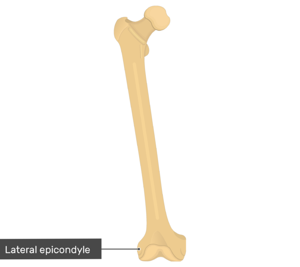Lateral epicondyle - Femur Bone - Anterior View