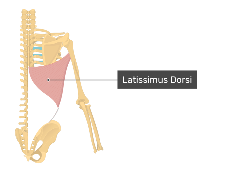 A posterior view of Latissimus Dorsi muscle.