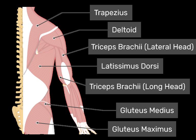 A posterior view of Latissimus Dorsi and Trapezius, Deltoid, Gluteus Medius, Gluteus Maximus and Triceps Brachii muscles.