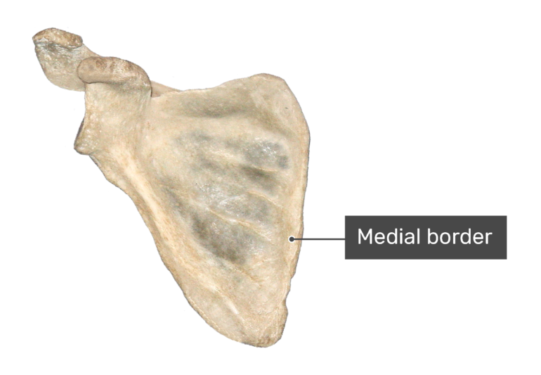 Anterior scapula bone with labeled medial border