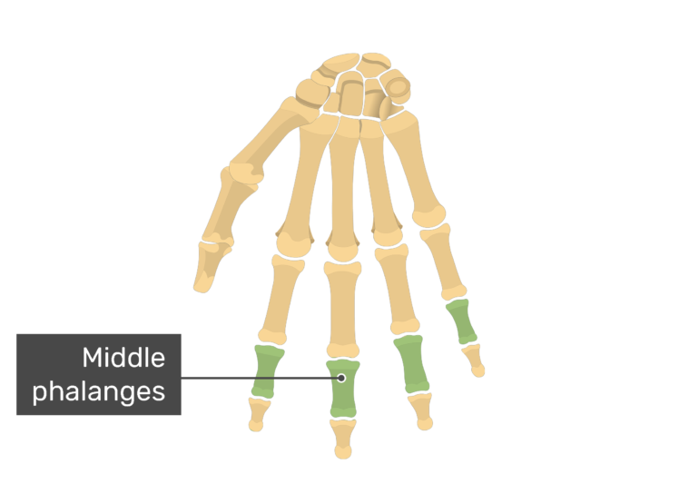 Anterior hand with the middle bones being highlighted