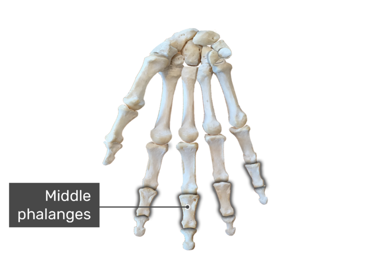 Bone anterior hand with the middle bones being highlighted