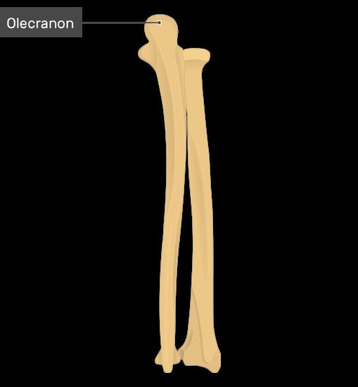 Olecranon - Radius and Ulna Bones - Posterior View