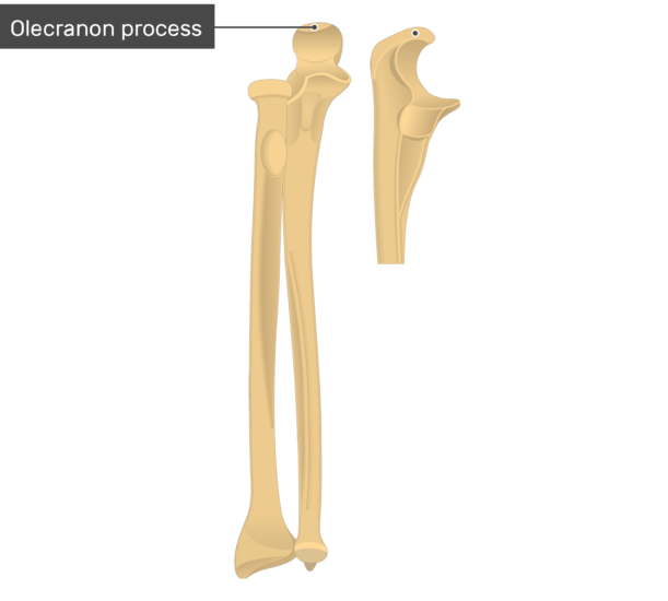 Radius and Ulna Bones Anatomy - Anterior Markings
