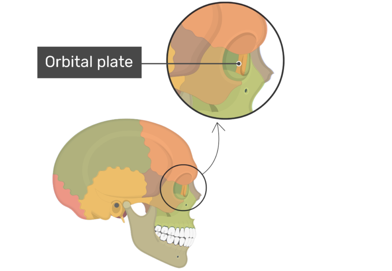 Orbital plate on lateral view highlighted with color and label