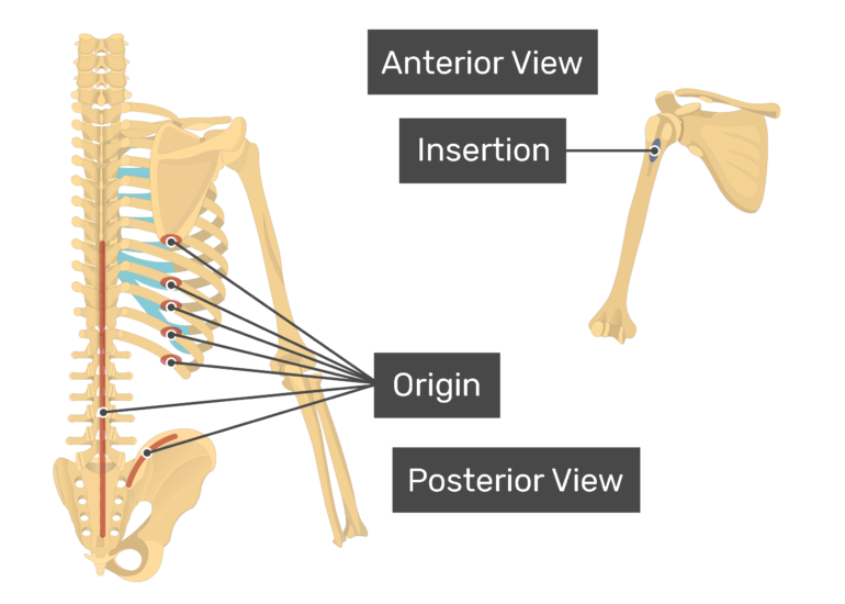 A posterior and an anterior view showing insertion and the origin of the Latissimus Dorsi muscle.