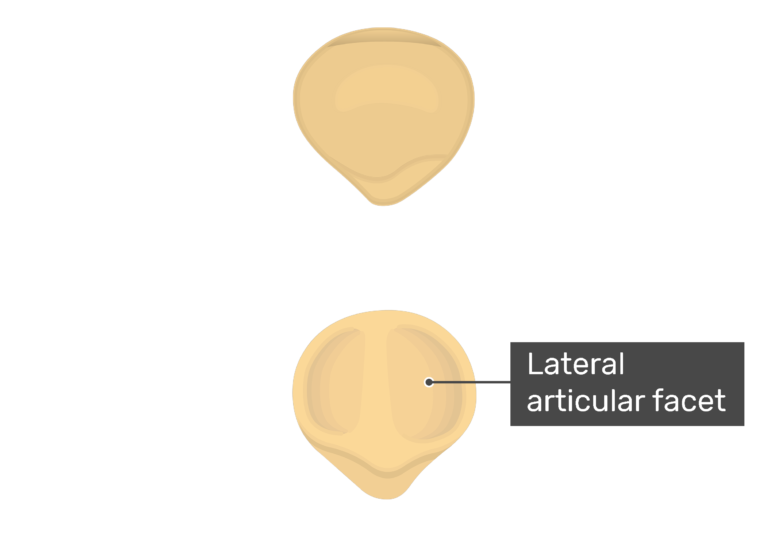 Lateral articular facet