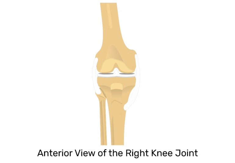 Patella Bone - Anterior and Posterior Views