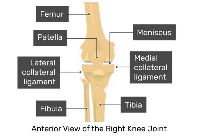 Anterior view of the right knee joint