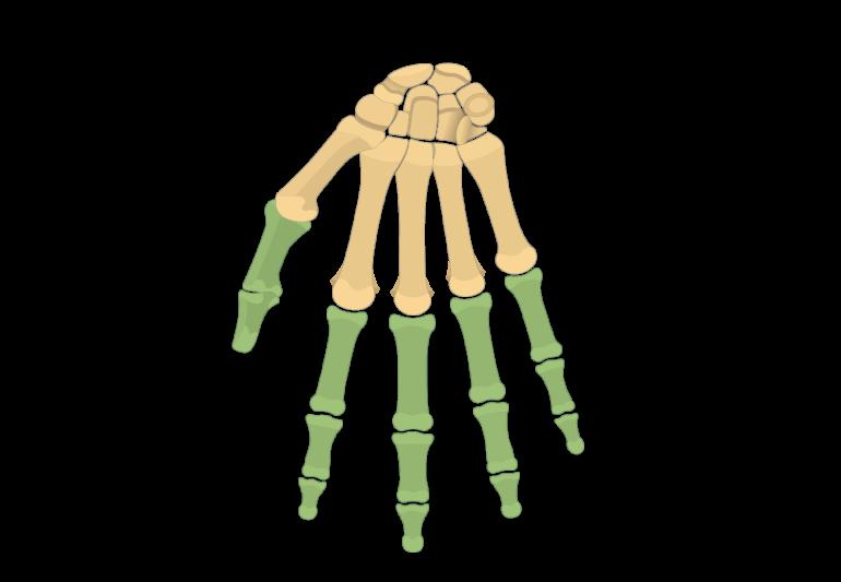 Illustration of anterior phalanx highlighted