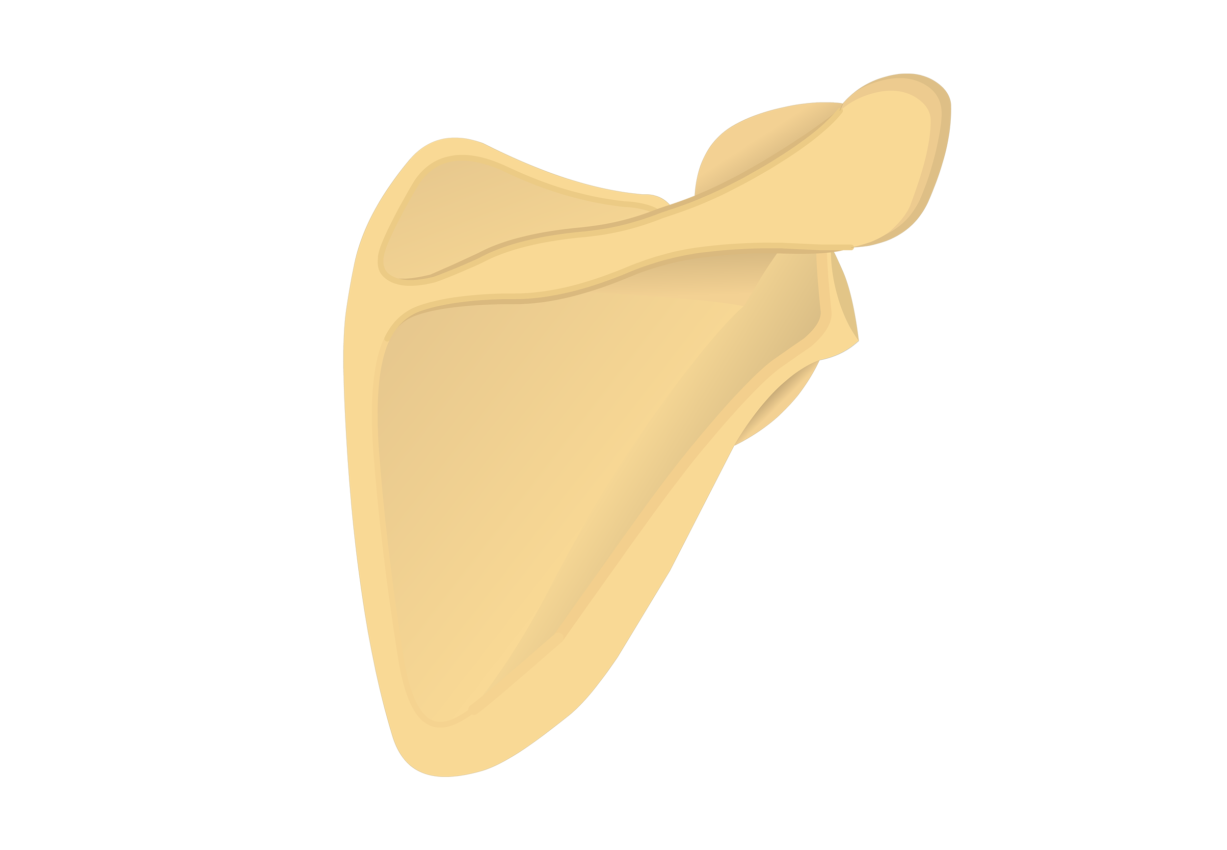 Illustration of posterior scapula