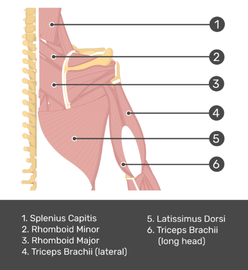 An posterior view of the back and arm muscles with labels for Splenius Capitis, Rhomboid Major, Rhomboid Minor, Triceps Brachii (long and lateral head) and Latissimus Dorsi muscles.