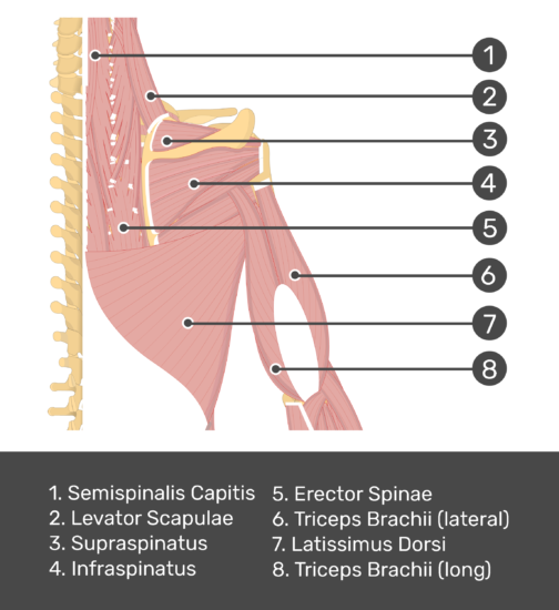 An posterior view of the back and arm muscles with labels for Semispinalis Capitis, Levator Scapulae, Supraspinatus, Infraspinatus, Erector Spinae, Triceps Brachii (long and lateral head) and Latissimus Dorsi muscles.