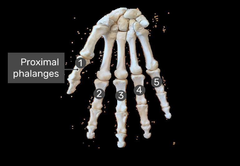 Proximal phalanges bone