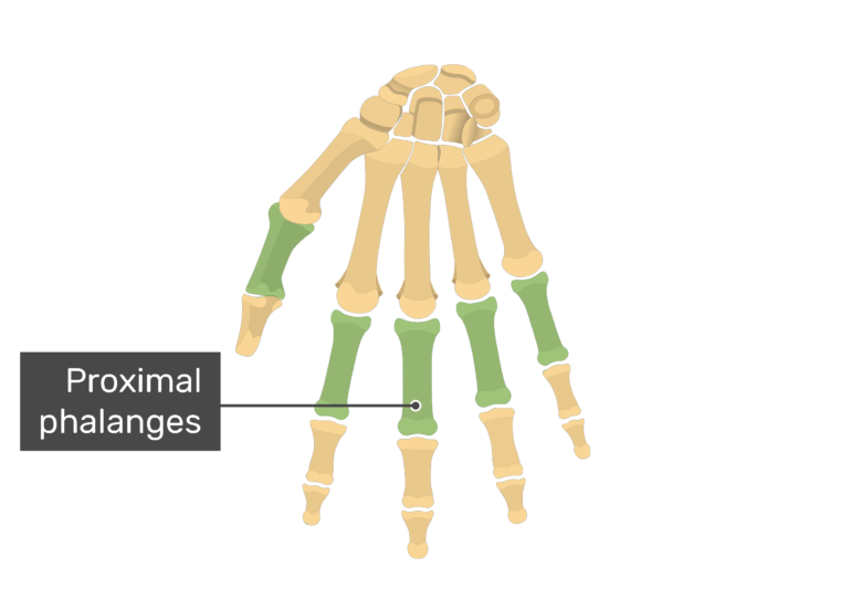 Anterior hand with the proximal bones being highlighted