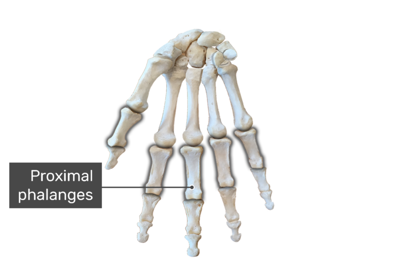 Bone anterior hand with the proximal bones being highlighted