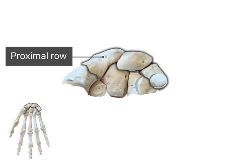 Anterior Hand and Wrist, the carpal bones are being magnified with a label of proximal row