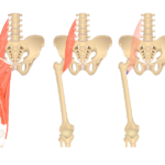 Image showing anterior muscles of the thigh, isolated Psoas Major muscle and attachments of Psoas Major