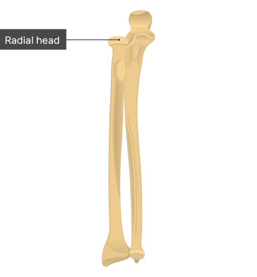 Radial head - Radius and Ulna Bones