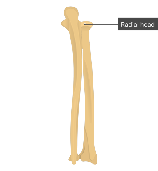 Radial head - Radius and Ulna Bones - Posterior View