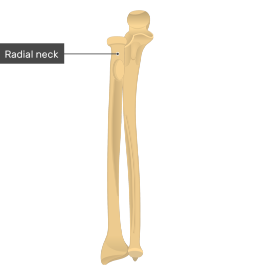 Radial neck - Radius and Ulna Bones