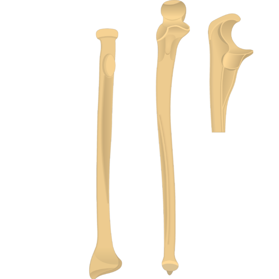Radial notch - Radius and Ulna Bones