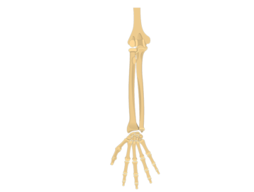 Radius and Ulna Bones - Introduction - Featured