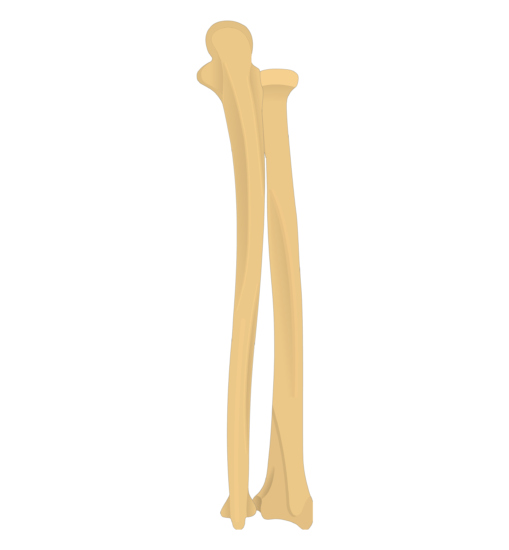 Radius and Ulna Bones Anatomy - Posterior Markings Ulna Bone