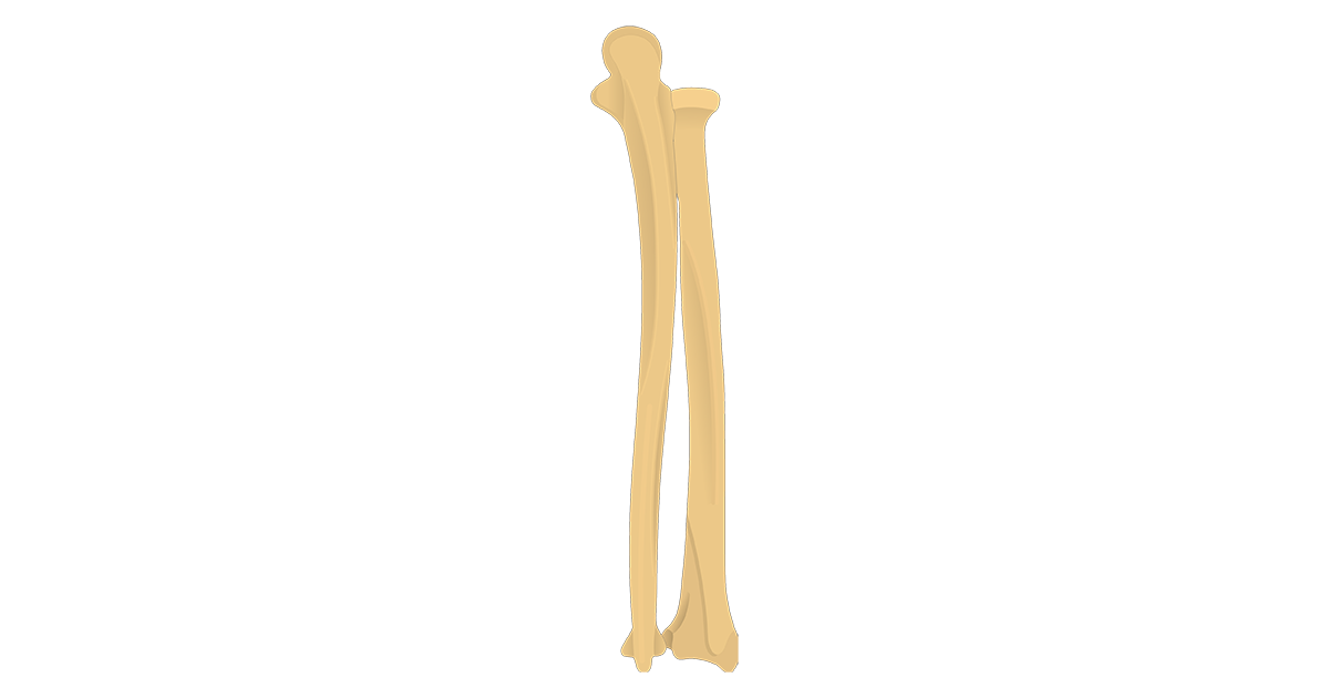 Radius and Ulna Bones - Posterior View - Featured