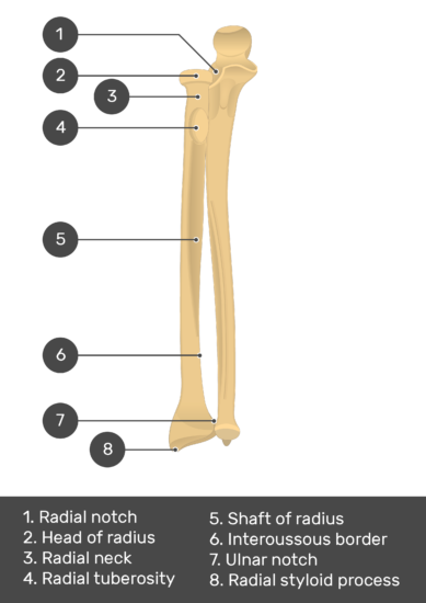 Radius and Ulna Bones - Test youreself - Part1 - Answers