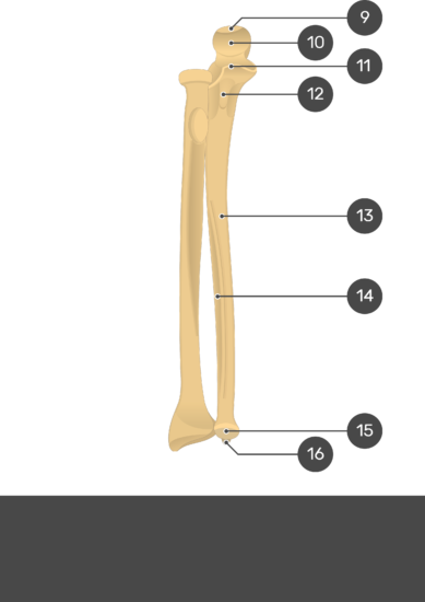 Radius and Ulna Bones - Test youreself - Part2