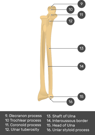 Radius and Ulna Bones - Test youreself - Part2 - Answers