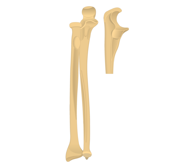 Radius and Ulna Bones - Ulna