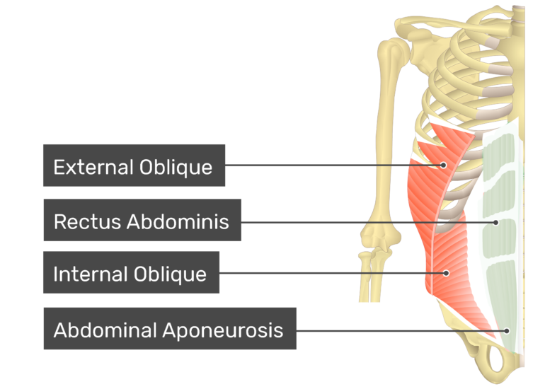 Rectus Abdominis muscle with labels: external oblique, rectus abdominis, internal oblique, abdominal aponeurosis