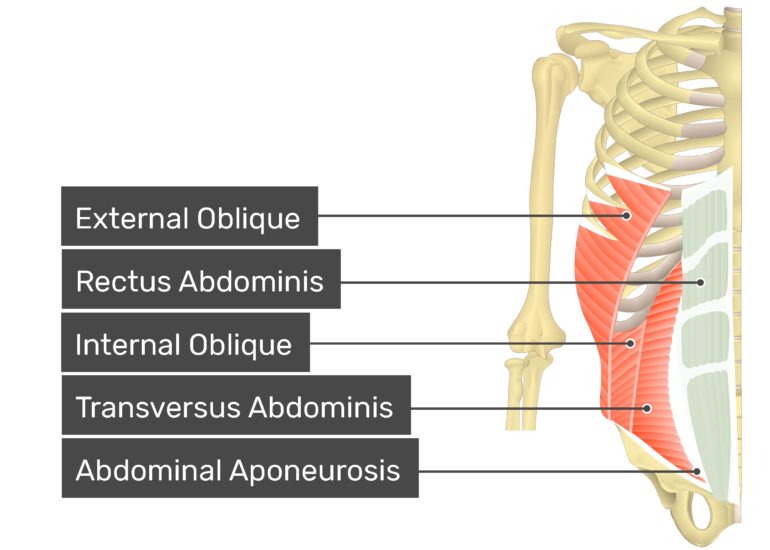 Rectus Abdominis muscle with labels: external oblique, rectus abdominis, internal oblique, transversus abdominis, abdominal aponeurosis