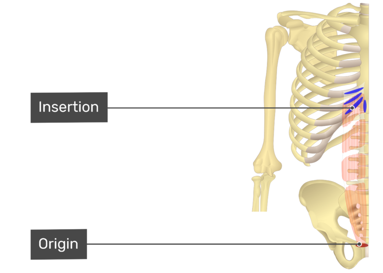 Rectus Abdominis Insertion and Origin Labeled
