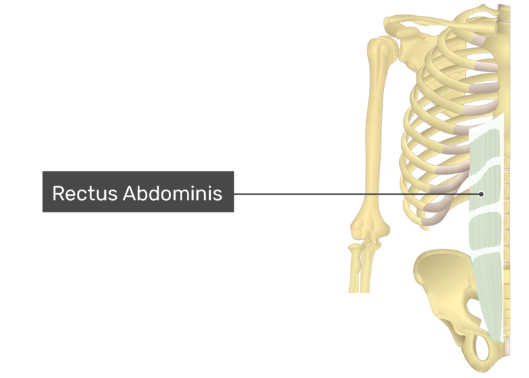 Rectus Abdominis with label
