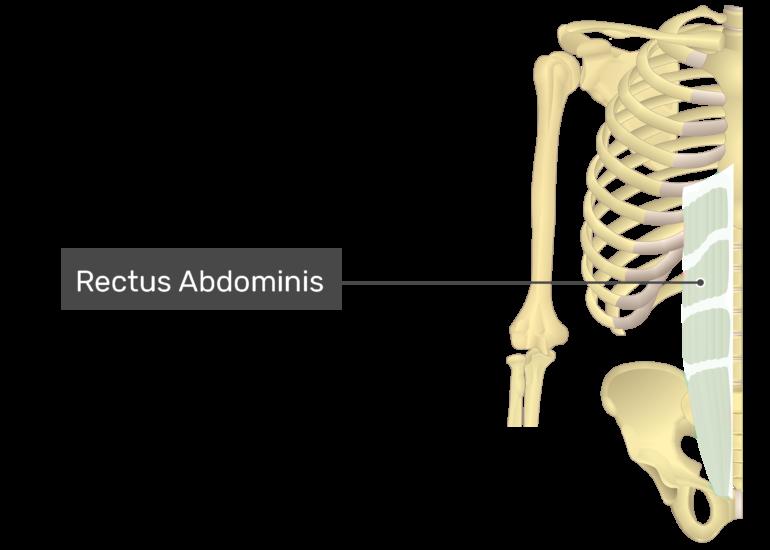 Rectus Abdominis with label