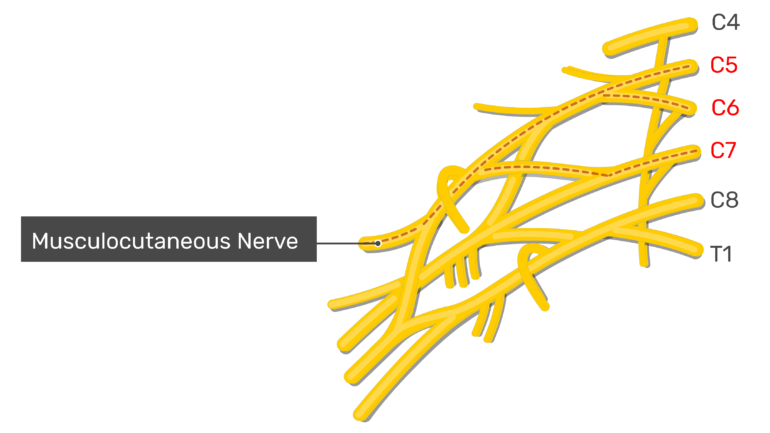 Musculocutaneous nerve within the brachial plexus