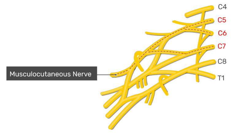Musculocutaneous nerve within the brachial plexus