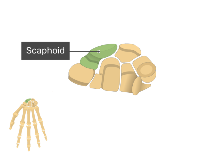 Anterior Hand and Wrist with the carpal bones being magnified and the scaphoid bone being highlighted