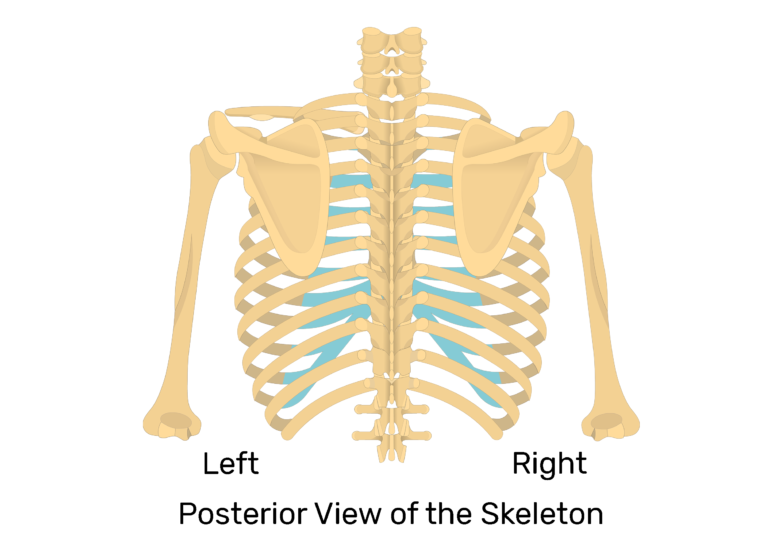 View of the scapula and humerus on posterior view