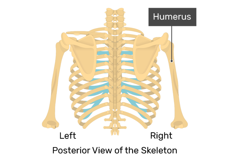 The posterior view of skeleton showing the left scapula, humerus, and right scapula with labeled right humerus